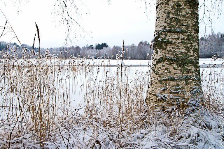 Белая береза - где-то в Финляндии. фото