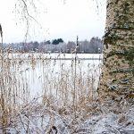 Белая береза — где-то в Финляндии.