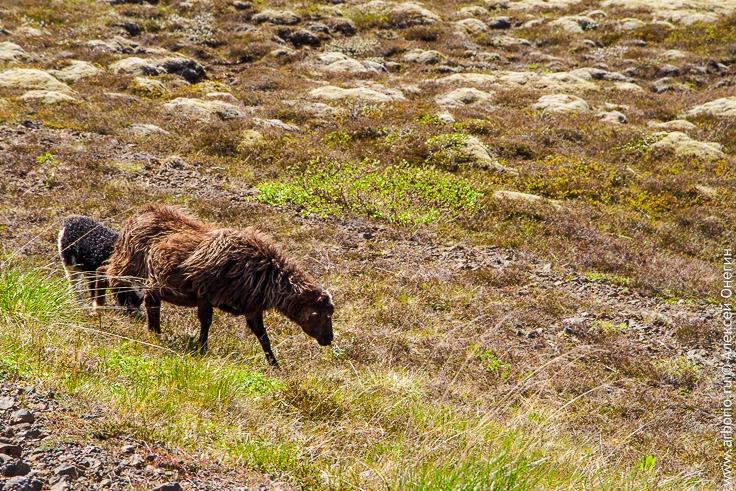 Исландские бараны