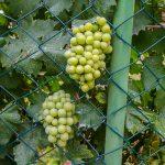 Вино в Черногории