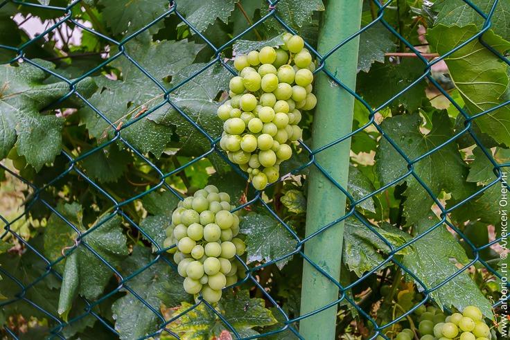 Вино в Черногории фото
