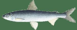 Речная рыба, наше богатство - фото
