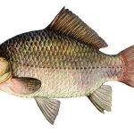 Речная рыба, наше богатство