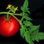 Как хранить помидоры: правда и вымысел